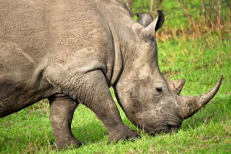 White Rhinoceros, Ceratotherium simum, Square-lipped Rhinoceros, Kruger National Park, South Africa, Africa 스톡 콘텐츠