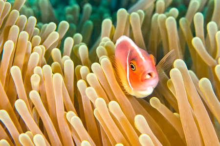 Pink Anemonefish, Amphiprion perideraion, Magnificent Sea anemone, Ritteri anemone, Heteractis magnifica, Coral Reef, Lembeh, North Sulawesi, Indonesia, Asia 스톡 콘텐츠