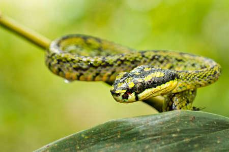 Sri Lankan Green Pit Viper, Trimeresurus trigonocephalus, Sinharaja National Park Rain Forest, Sinharaja Forest Reserve, Biosphere Reserve, National Wilderness Area, Sri Lanka, Asia