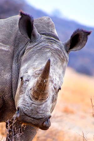 White Rhinoceros, Ceratotherium simum, Square-lipped Rhinoceros, Khama Rhino Sanctuary, Botswana, Africa