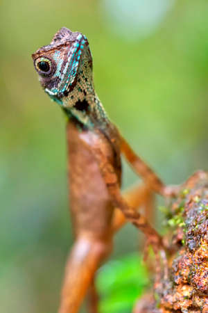 Brown-patched Kangaroo Lizard, Wiegmann's Agama, SriLankan Kangaroo Lizard, Otocryptis wiegmanni, Sinharaja National Park Rain Forest, Sinharaja Forest Reserve,, National Wilderness Area, Sri Lanka, Asia 스톡 콘텐츠