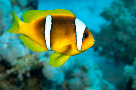 Red Sea Clownfish, Two-banded Anemonefish, Amphiprion bicintus, Coral Reef, Red Sea, Egypt, Africa 스톡 콘텐츠