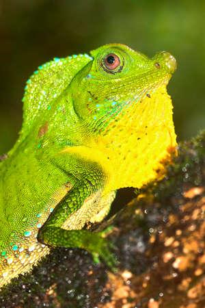 Hump-nosed Lizard, Lyriocephalus scutatus, Sinharaja National Park Rain Forest, World Heritage Site, UNESCO, Biosphere Reserve, Sri Lanka, Asia