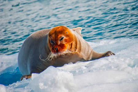 Bearded Seal, Erignathus barbatus, Arctic, Spitsbergen, Svalbard, Norway, Europe 스톡 콘텐츠