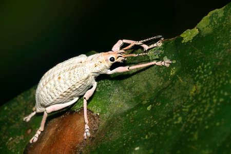 Albino Weevil, Beetle, Curculionidae, Tropical Rainforest, Napo River Basin, Amazonia, Ecuador, America 스톡 콘텐츠