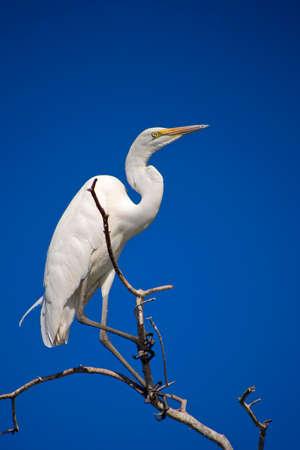 Great White Egret, Egretta alba, Chobe River, Chobe National Park, Botswana, Africa 스톡 콘텐츠