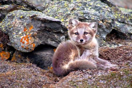 Arctic Fox, Vulpes lagopus, Signehamna Harbor, Nordvest Spitsbergen National Park, Krossfjord, Arctic, Spitsbergen, Svalbard, Norway, Europe 스톡 콘텐츠