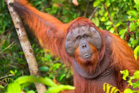 Orangutan, Pongo pygmaeus, Tanjung Puting National Park, Borneo, Indonesia 스톡 콘텐츠