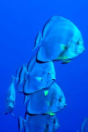 Circular batfish, Platax orbicularis, Coral Reef, Red Sea, Egypt, Africa 스톡 콘텐츠