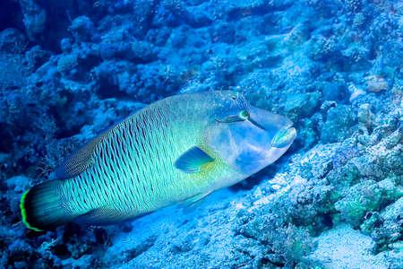 Humpback Wrasse, Cheilinus undulatus, Coral Reef, Red Sea, Egypt, Africa