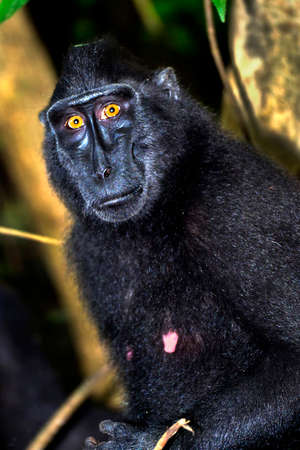 Macaque, Celebes Crested Macaque, Crested Black Macaque, Macaca nigra, Tangkoko Nature Reserve, North Sulawesi, Indonesia, Asia 스톡 콘텐츠
