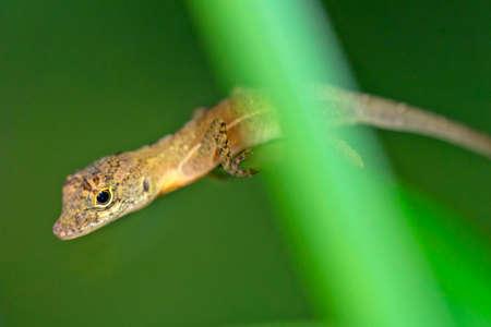 Anole Lizard, Anolis sp., Tropical Rainforest, Corcovado National Park, Osa Conservation Area, Osa Peninsula, Costa Rica, Central America, America 스톡 콘텐츠
