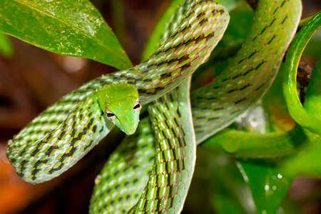 Green Vine Snake, Long-nosed Whip Snake, Ahaetulla nasuta, Sinharaja National Park Rain Forest 스톡 콘텐츠