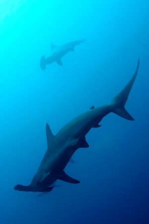 Hammerhead Shark, Sphyrna sp., Darwin and Wolf Islands, Galapagos Islands 스톡 콘텐츠