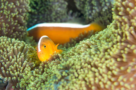 Orange Skunk Clownfish, Amphiprion sandaracinos, Magnificent Sea anemone, Ritteri anemone, Heteractis magnifica, Lembeh, North Sulawesi, Indonesia, Asia