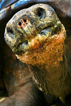 Galapagos Giant Tortoise, Chelonoidis nigra, Galapagos National Park, Galapagos Islands