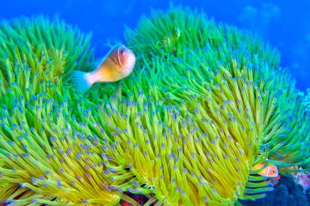 Pink Anemonefish, Amphiprion perideraion, Magnificent Sea anemone, Ritteri anemone, Heteractis magnifica, Bunaken National Marine Park, Bunaken, North Sulawesi, Indonesia, Asia 스톡 콘텐츠