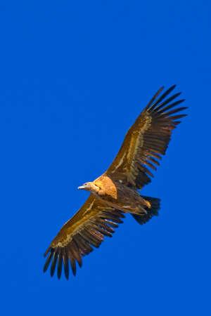 Griffon Vulture, Gyps fulvus, Hoces de Rio Duraton Natural Park, Duraton River Gorges, Segovia, Castilla y Leon, Spain, Europe 스톡 콘텐츠