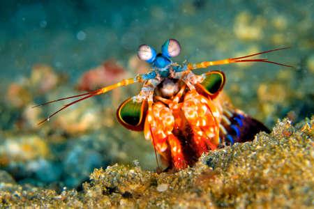 Mantis Shrimp, Peacock Mantis, Odomodactylus scylla, Coral Reef, Lembeh, North Sulawesi, Indonesia, Asia 스톡 콘텐츠