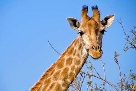 Giraffe, Giraffa camelopardis, Wildlife Reserve, South Africa, Africa