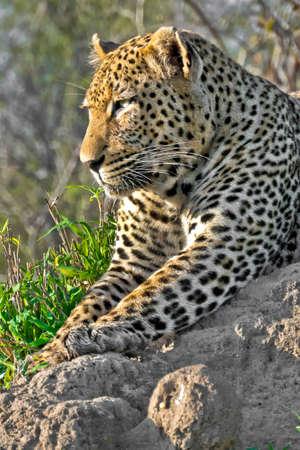 Leopard, Panthera pardus, Kruger National Park, South Africa, Africa