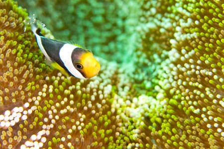 Panda Clownfish, Amphiprion polymnus, Clownfish, Anemonefish, Damselfish, Lembeh, North Sulawesi, Indonesia, Asia
