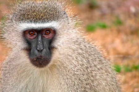 Vervet Monkey, Cercopithecus aethiops, Kruger National Park, South Africa, Africa