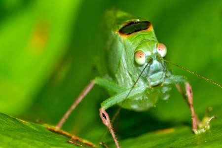 Mimetic Grasshopper, Tropical Rainforest, Costa Rica, America