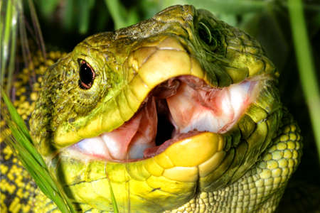 Ocellated Lizard, Timon lepidus, Sierra de Guadarrama National Park, Segovia, Castile and Leon, Spain, Europe
