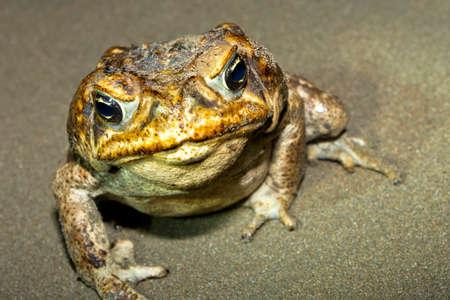 Cane Toad, Giant Neotropical Toad, Marine Toad, Rhinella marina, Marino Ballena National Park, Uvita de Osa, Puntarenas, Costa Rica, Central America, America
