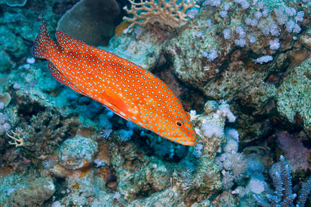 Coral grouper, Cephalopholis miniata, Coral Reef, Red Sea, Egypt, Africa 스톡 콘텐츠