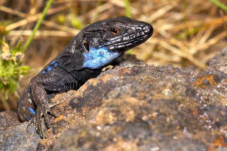 La Palma lizard, Sizeable lizard, Wall lizard, Lagarto Tiz
