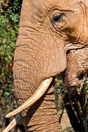 Elephant, Loxodonta africana, Wildlife Reserve, South Africa, Africa