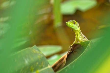 Plumed Basilisk, Green Basilisk, Jesus Christ Lizard, Basiliscus plumifrons, Tropical Rainforest, Costa Rica, Central America, America 스톡 콘텐츠