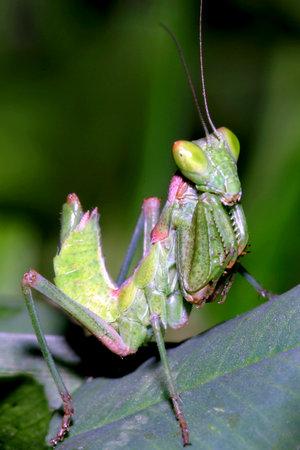 Praying Mantis, Ameles sp., Sierra de Guadarrama National Park, Segovia, Castile and Leon, Spain, Europe