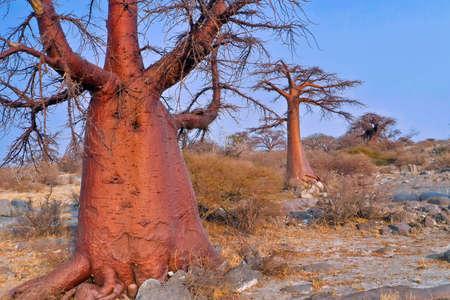 Baobab Tree, Adansonia digitata, Chobe National Park, Botswana, Africa