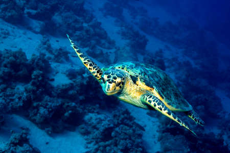 Green Turtle, Chelonia mydas, Coral Reef, Red Sea, Egypt, Africa 스톡 콘텐츠