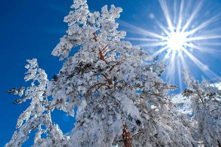 Scot Pine Forest, Sierra de Guadarrama National Park, Segovia, Castile and Leon, Spain, Europe