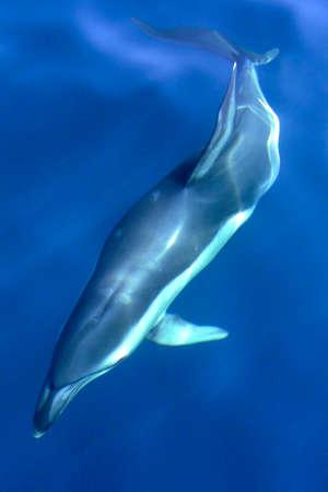 Short beaked Common Dolphin, Delphinus delphis, Straits of Gibraltar Natural Park, Tarifa, Cadiz Province, Spain, Europe