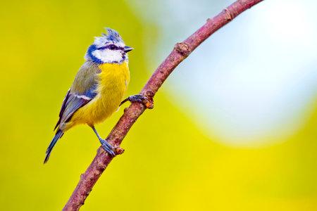 Blue Tit, Parus caeruleus, Mediterranean Forest, Castile and Leon, Spain, Europe