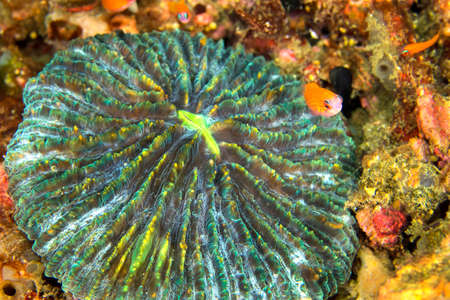 Disc coral, Plate coral, Mushroom Coral, Reef Building Corals, Fungia, Lembeh, North Sulawesi, Indonesia, Asia 스톡 콘텐츠