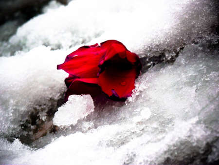 Dead flower in the snow