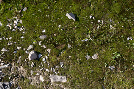 Musk texture - Musk and grass on a hill path in Tuscany, wit the characteristc marble splinters