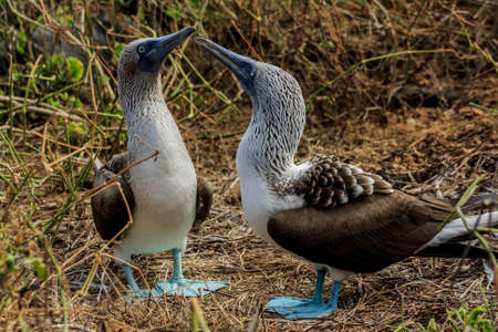 reserve: Blue footed booby couple in the Galapagos Islands