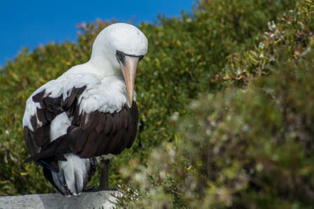 boobie: Galapagos Nazca booby sitting on a rock with a green background Stock Photo