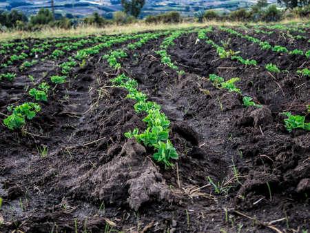 Bean crop plantation in Palenque, bolivar Ecuador