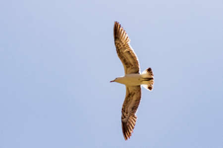 Seagull flying in a blue summer sky in Chile Stock Photo