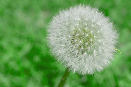 blowball: Blowball, close-up photo Stock Photo