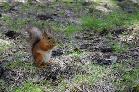 hassock: Red squirrel with pap, naze and eyes sitting on grass near trees in the forest . Wild furry rodent macro.
