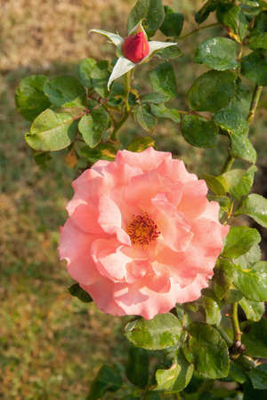 tons: There are tons of rose pink flowers on the grass by the morning sun. Stock Photo
